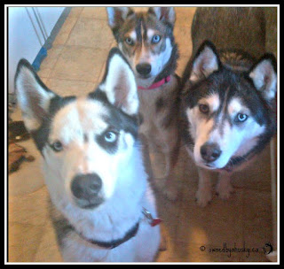 Are Huskies Happier In Packs?