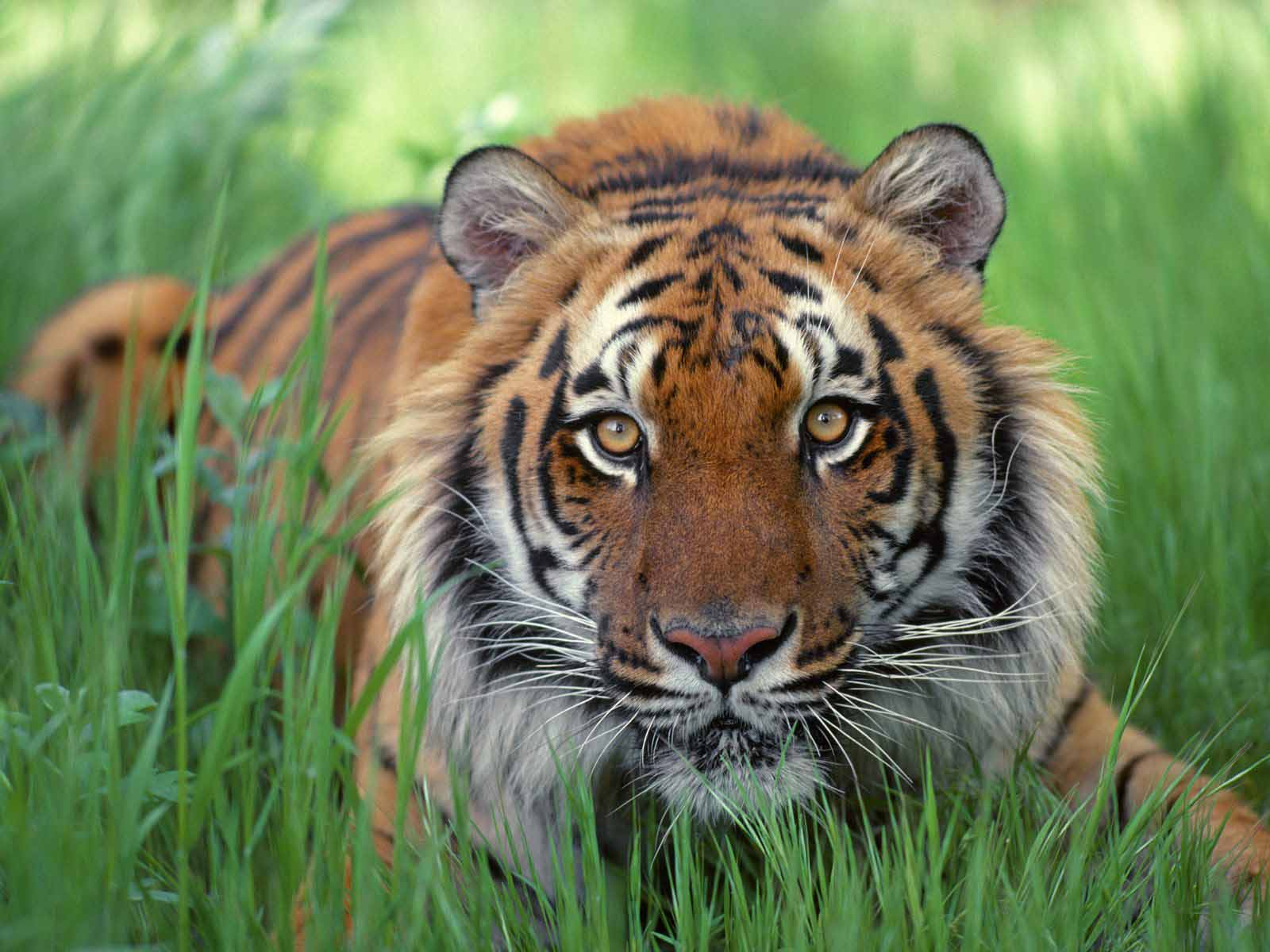 bengal tiger Characteristics the bengal tiger's coat is yellow to light orange, with stripes ranging from dark brown to black the belly and the interior parts of the limbs are white, and the tail is orange with black rings.