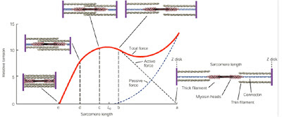 kontrakcija mišice