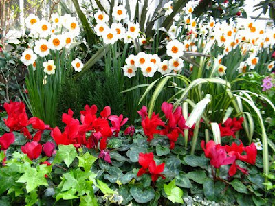 daffodils and cyclamen blooming at allan gardens conservatory by paul jung gardening services toronto