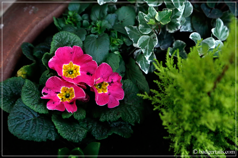 Pink Primrose with Ivy and Mini Conifer