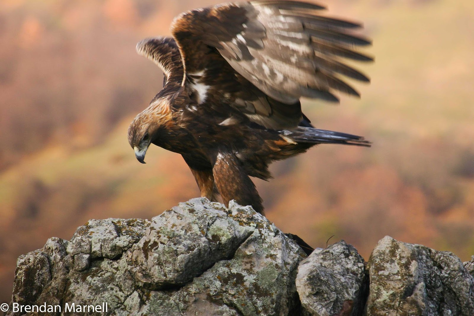the eagle u0027s nest golden eagle
