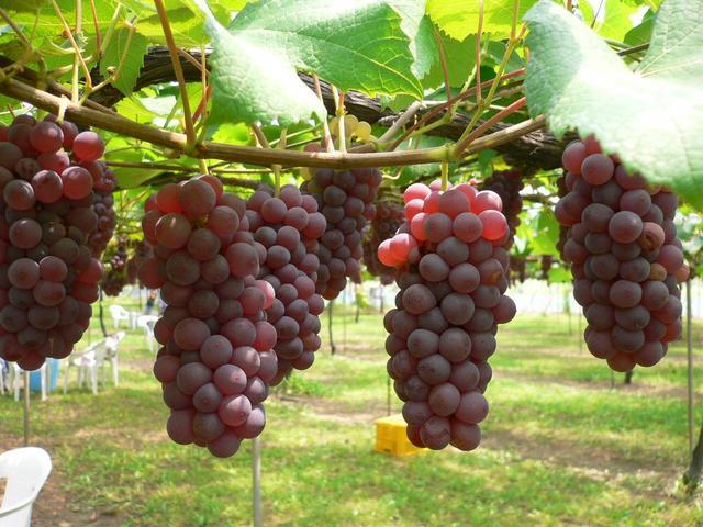 Bibit Buah Anggur