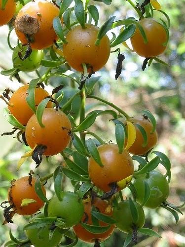 Bilhete de Identidade da Fruta: Fruto - Pereskia aculeta
