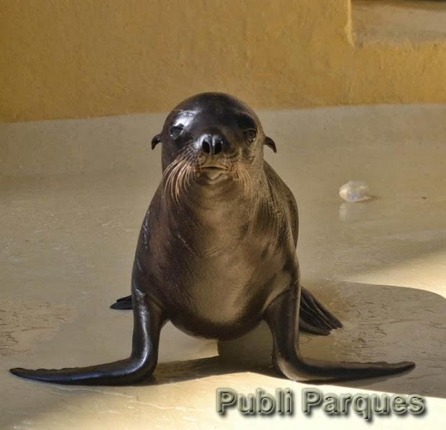 Cría de león marino en Loro Parque