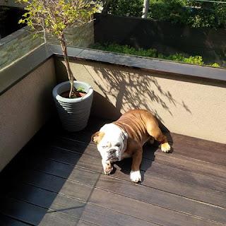 Χάθηκε στις 19-11-2015 ώρα 9.55 π.μ. από τη περιοχή Άγιοι Ανάργυροι-Ίλιον σκύλος ράτσας Αγγλικό Μπουλντόκ , χρώματος άσπρο – καφέ