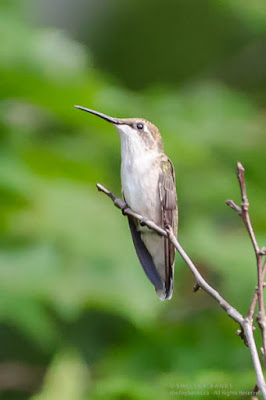 Female Ruby-throated Hummingbird, in the Laurentians, Quebec. © Shelley Banks, all rights reserved. (ShelleyBanks.ca)