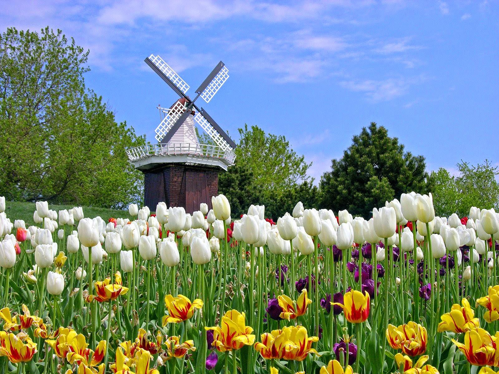 Gambar Keren Sebagai Wallpaper Musim Bunga Tulip Belanda