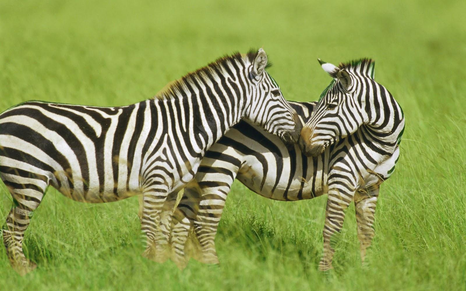 Baby zebra wallpaper for Zebra wallpaper
