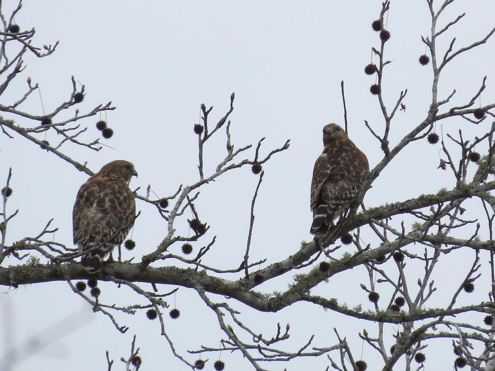 Winter Backyard Birds : ll add more winter backyard birds as I see them and photograph them