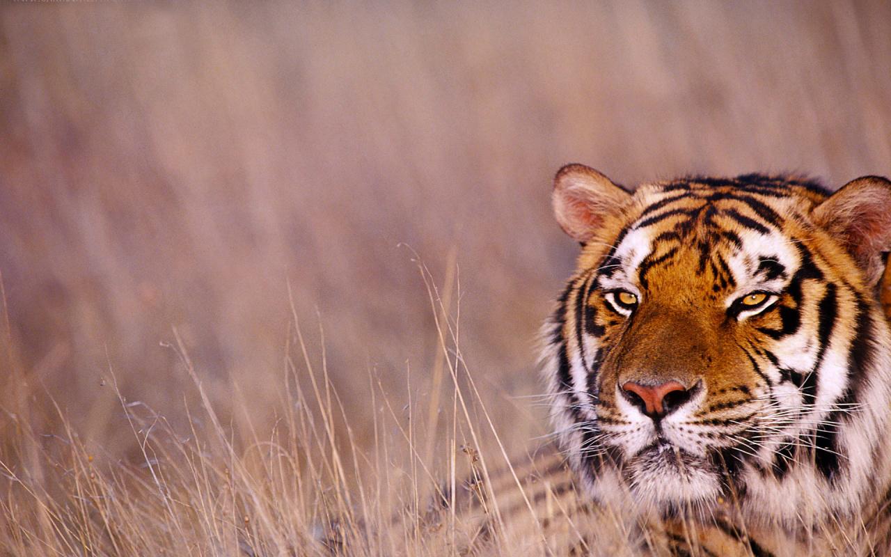 tiger wallpaper widescreen - photo #20