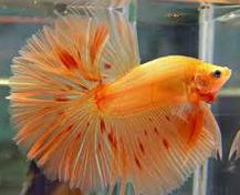 Ikan Laga Crowntail Orange
