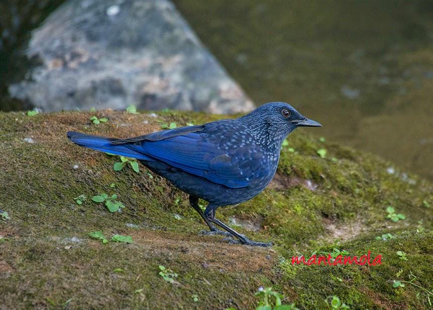 Blue Whistling Thrush (migratory) (Myophonus caeruleus)