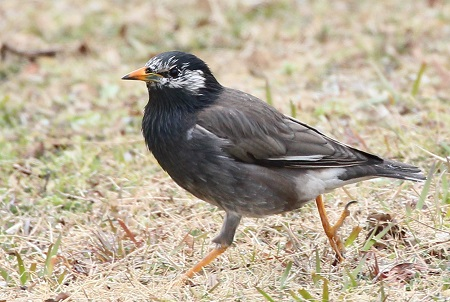 White-cheeked Starling