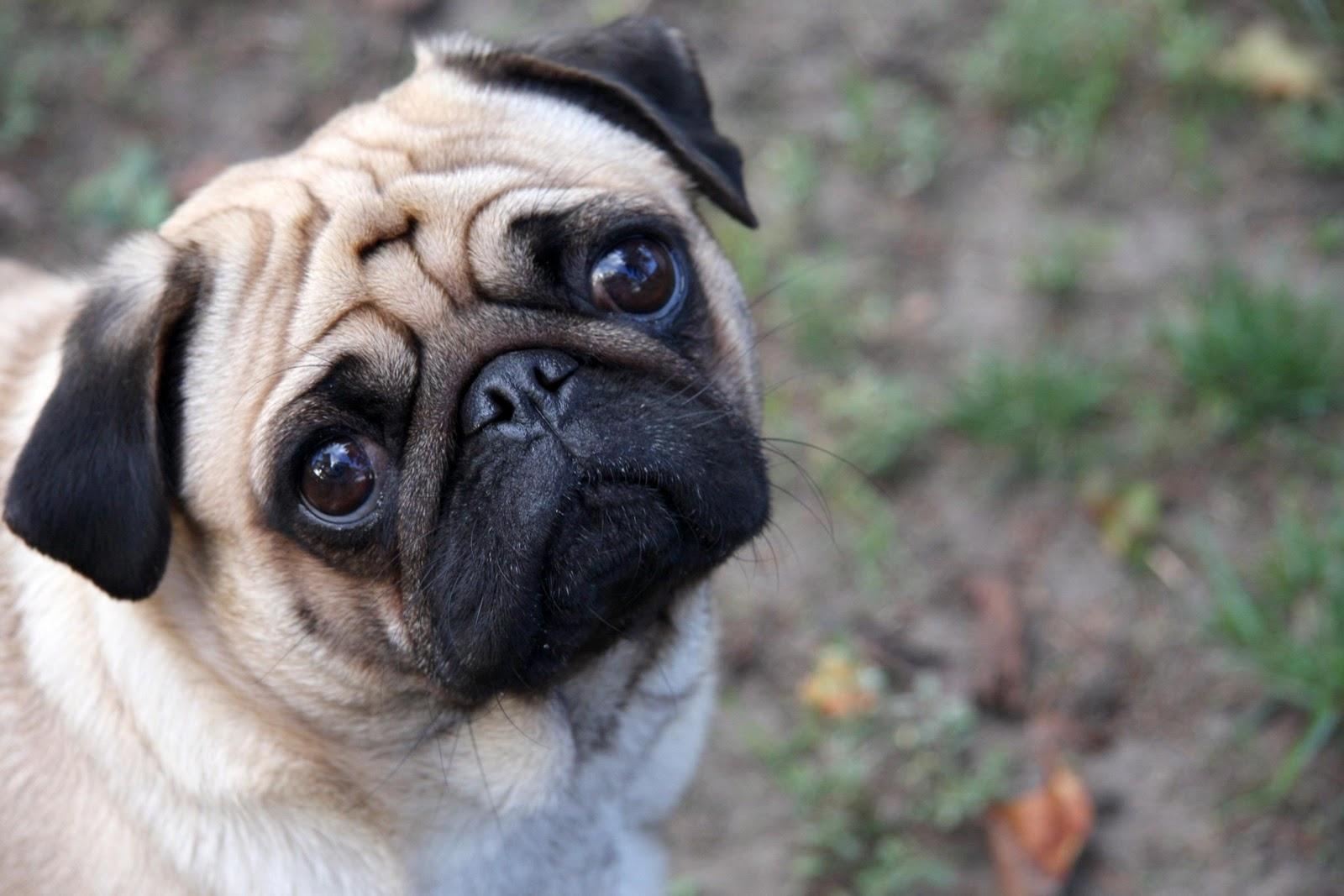 Fotos de Perros Pugs y Puglets