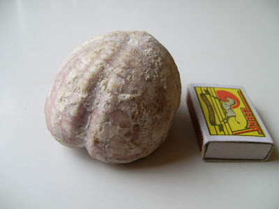 Fossil Sea urchin echinoid