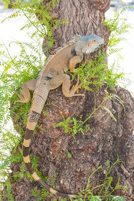 Fotos de una Iguana