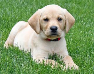 Labrador Retriever Training Practical Commands Training