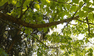 Davidia vilmoriniana - Handkerchief Tree Ruskin Park Branch Structure