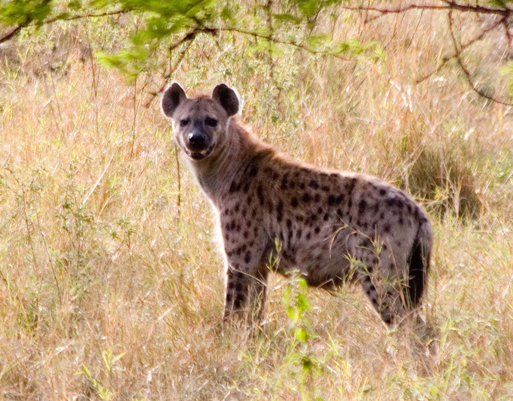 hyena pictures and wallpapers animals library