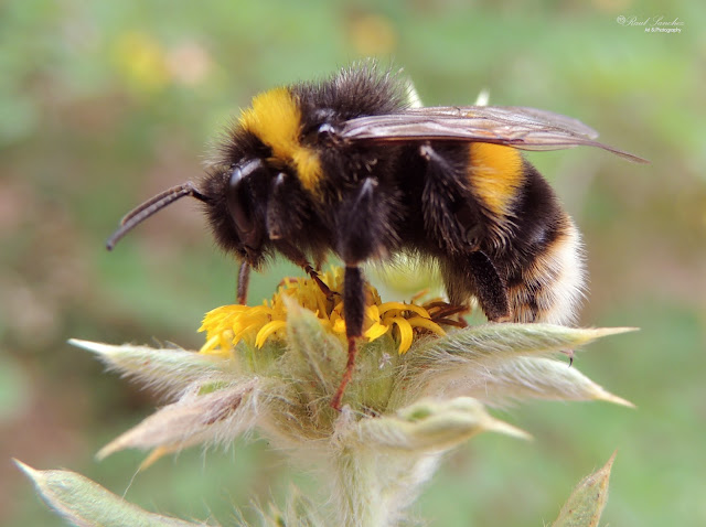 Naturaleza Viva : Los abejorros Bombus familia Apidae