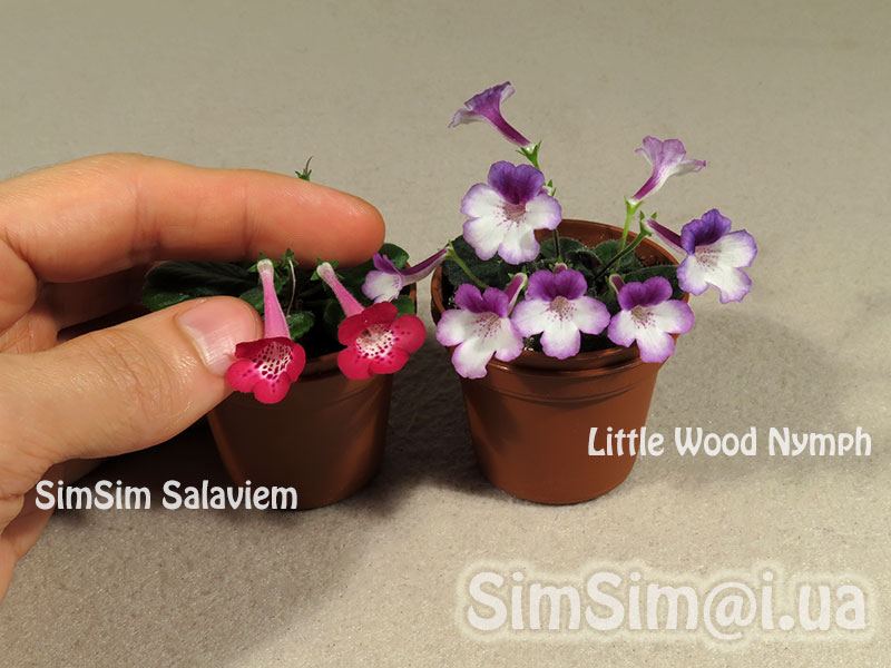"micro mini Sinningia ""SimSim Salaviem"" vs ""Little Wood Nymph"""