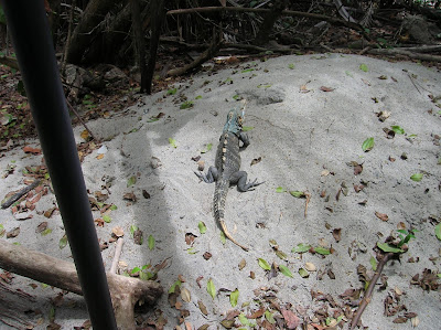 Iguana Parque Nacional Manuel Antonio, Costa Rica, vuelta al mundo, round the world, La vuelta al mundo de Asun y Ricardo, mundoporlibre.com