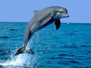 DELFIN - Delphinidae