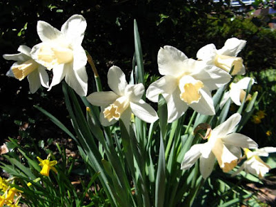 White daffodils in bloom at Paul Kane House gardens by garden muses: a Toronto gardening blog