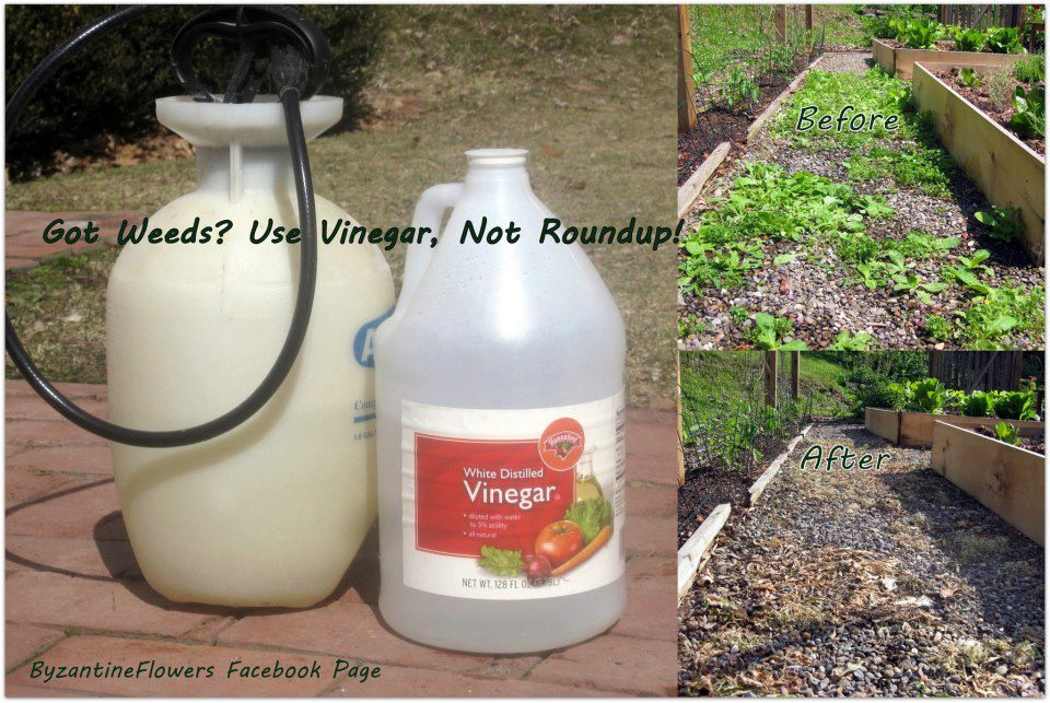 My crazy email got weeds use vinegar not roundup - Get rid weeds using vinegar ...