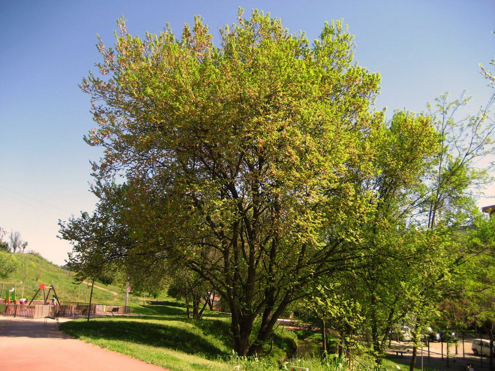 Rboles con alma olmo om ulmus minor for Arboles para plantar en invierno