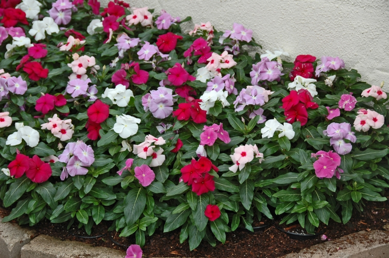 as plantas são perenes dão flores o ano inteiro e as sementes
