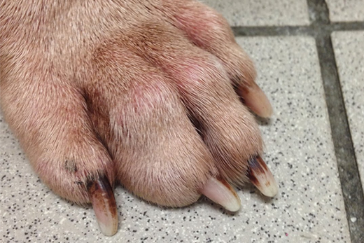 cause of cracked toenails on dogs