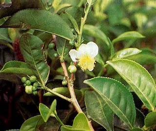 daun teh sebagai Obat Alami Kolesterol Tinggi