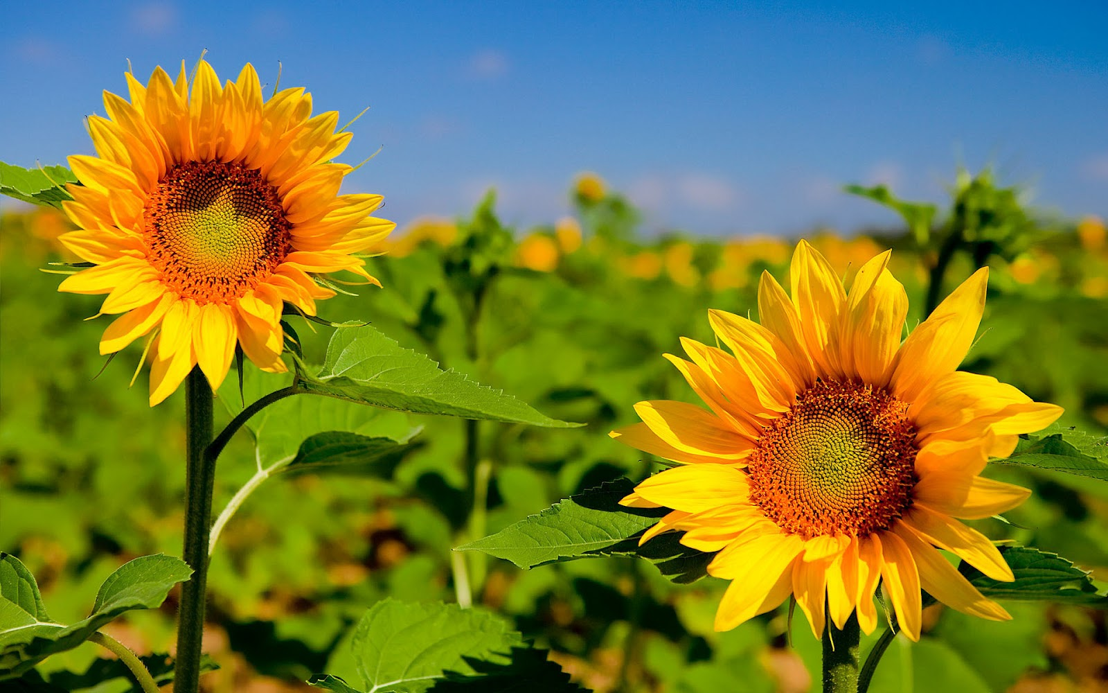 HD Background Sunflower Wallpapers