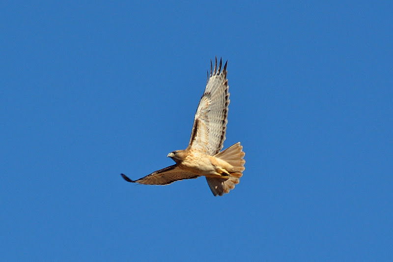 Desert Hawk Animal Sahara Desert Animals ...
