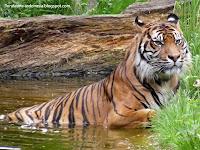 Harimau Sumatera dewasa