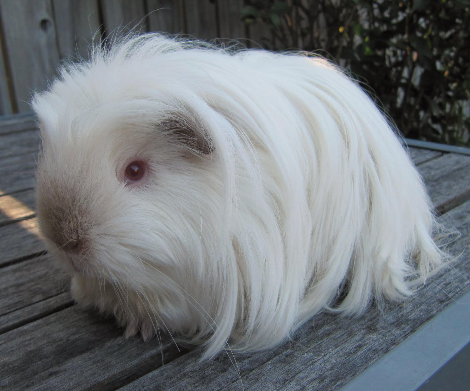 Long haired guinea pig - photo#1
