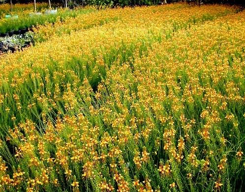 F nix plantas e jardins bulbine resistente e n o precisa - Plantas para pleno sol ...