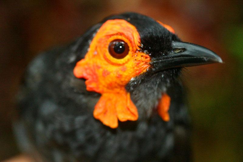 Burung Wattled Smoky Honeyeater - Melipotes carolae