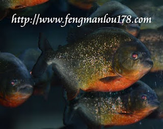 红肚鲳食人鱼