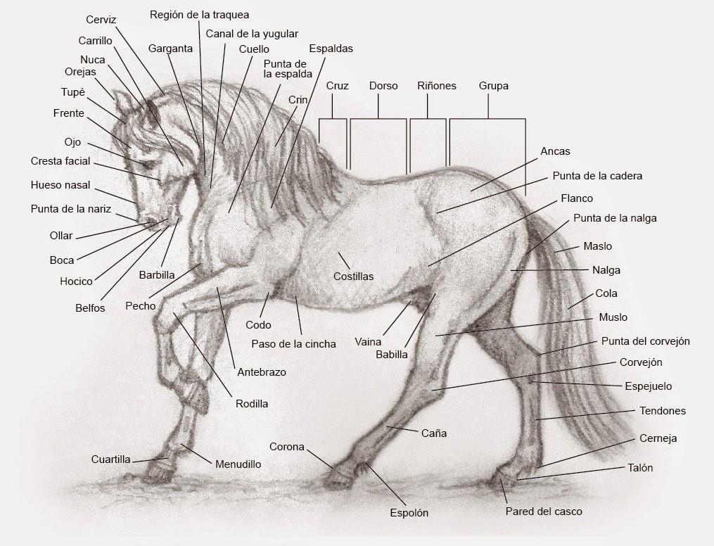 Excelente Caballo Diagrama Cabeza Anatomía Adorno - Imágenes de ...