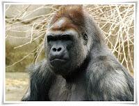Gorilla Animal Pictures