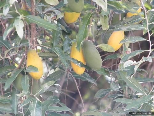 Uxi: é uma fruta típica da região amazônica, de cor amarelo-escura, muito rica em gorduras. Dele pode-se extrair um azeite rico em vitamina A, usado na alimentação. O uxi é consumido ao natural ou usado na preparação de sorvetes. Informação e foto em Nutrir a VIDA
