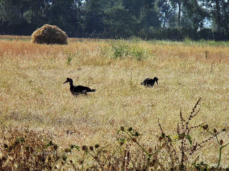 A pair of Abyssinian Ground Hornbills on a field in Ethiopia