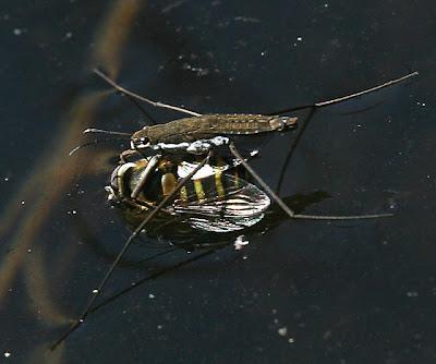 http://2.bp.blogspot.com/-vtDDJL-550k/Tw6gZTf4yMI/AAAAAAAABBU/pkjjAMVKHNs/s1600/water-strider-syrphid-fly.jpg