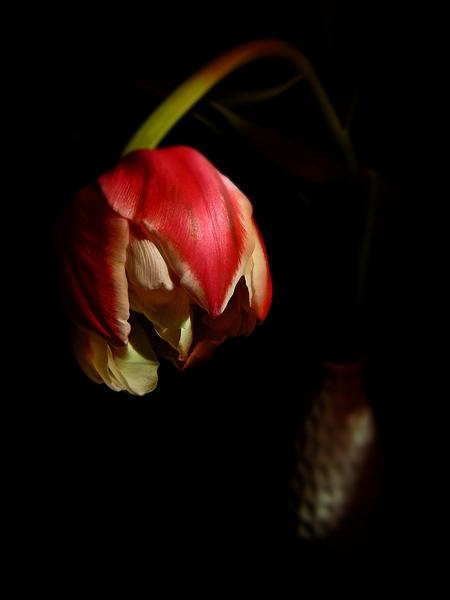 fotografia de tulipa