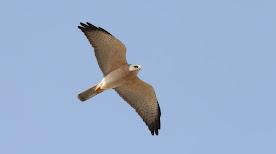 Levant Sparrowhawks - Israel 2019