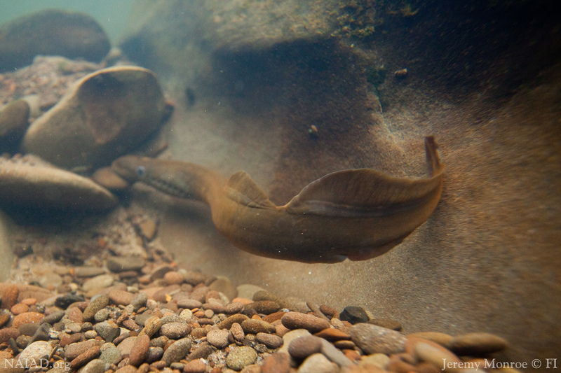 Lampreys Lack Paired Fins Like The Pelvic And Pectorals