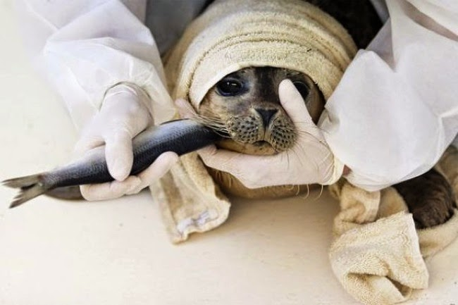 #10. A volunteer at a seal rehab center in the Netherlands hand feeds a baby seal. - 24 Happy Animal Photos Made Possible By The People Who Saved Them.
